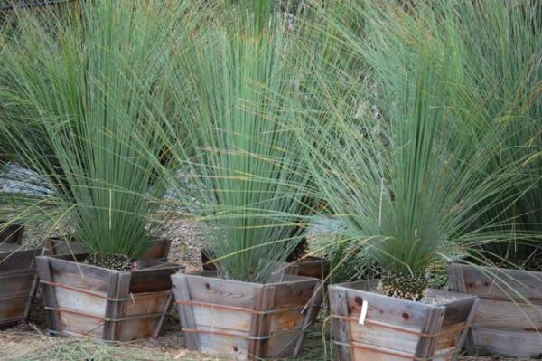 Delightful Various Seeds. » Dasylirion Longissimum (Mexican Grass Tree) Seeds    Tropical Palmtree,
